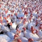 Экономика птицеводства