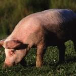 Экономика свиноводства