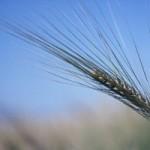 Экономика производства зерна
