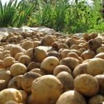 Повышение эффективности производства, хранения, переработки и реализации продукции картофелеводства